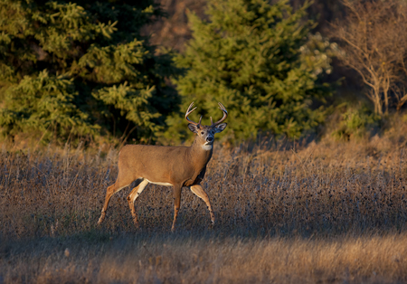 Foto de White-tailed deer buck in the early evening light during the rut - Imagen libre de derechos