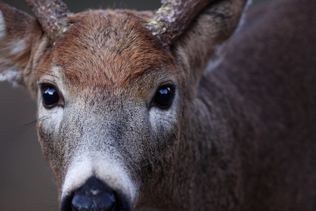 Photo for White-tailed deer buck closeup in autumn - Royalty Free Image