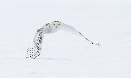 Photo for Snowy owl (Bubo scandiacus) hunting over a snow covered field in Canada - Royalty Free Image