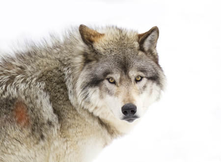Foto de Timber Wolf (Canis lupus) portrait closeup in winter snow - Imagen libre de derechos