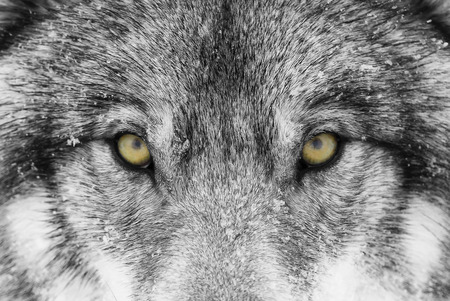 Foto de Timber Wolf (Canis lupus) with yellow eyes closeup in winter snow - Imagen libre de derechos