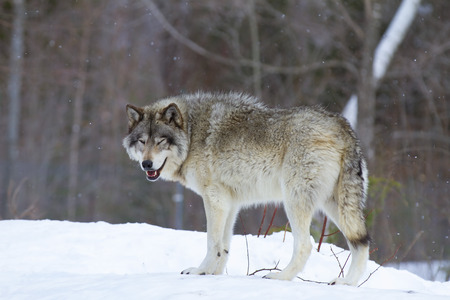 Photo for Timber wolf (Canis lupus) standing in the winter snow - Royalty Free Image