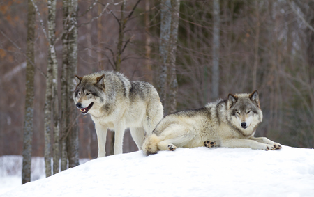 Photo pour Timber wolves (Canis lupus) standing in the winter snow - image libre de droit