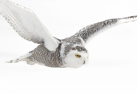 Photo for Snowy owl (Bubo scandiacus) flying low and hunting over a snow covered field in Canada - Royalty Free Image
