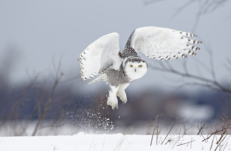Photo for Snowy owl (Bubo scandiacus) lifts off to hunt over a snow covered field in Canada - Royalty Free Image