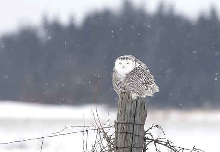Photo for Snowy owl (Bubo scandiacus) perched on a post hunting over a snow covered field in Canada - Royalty Free Image