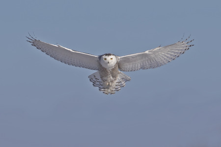 Photo for Snowy owl (Bubo scandiacus) flies low hunting over an open snowy field in Canada - Royalty Free Image