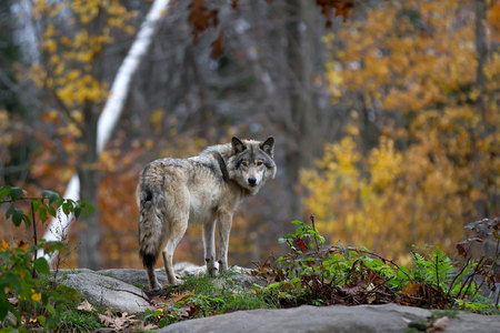 Foto de Timber wolf standing on a rocky cliff looking back in autumn - Imagen libre de derechos