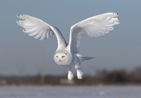 Photo for Male Snowy owl (Bubo scandiacus) flies low hunting over an open sunny snowy cornfield in Ottawa, Canada - Royalty Free Image