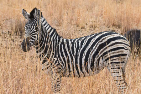 Photo for A Zebra amongst the long-grass in South Africa  - Royalty Free Image