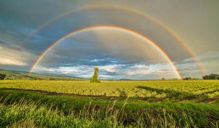 Photo pour Tree in a blueberry field under a double rainbow - image libre de droit
