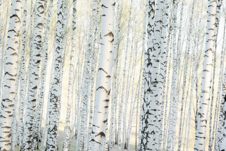 Winter Birch Forest at Sunrise mural