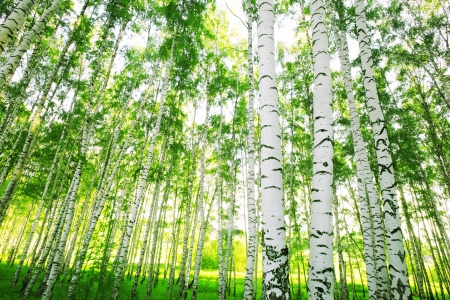 Birch Forest with lush foliage mural