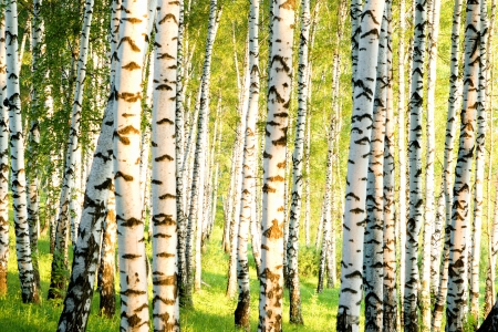 birch forest in sunlight in  mural