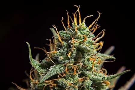 Foto de Top bud of green mature cannabis female plant with leaves and lot of trichomes. - Imagen libre de derechos