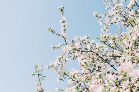 Foto de Flowers of the trees in spring time on sky background - Imagen libre de derechos