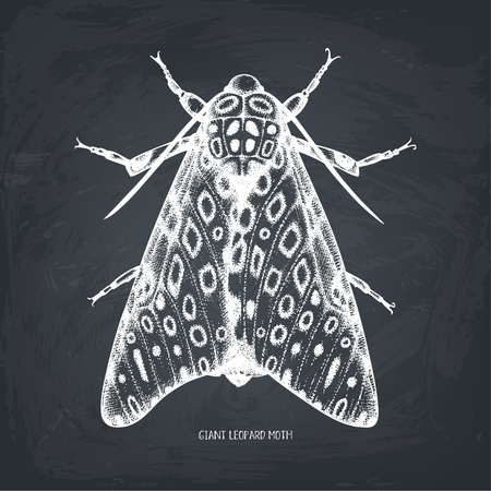 Illustrazione per High detailed  of leopard moth. - Immagini Royalty Free