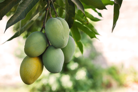 Foto de Bunch of green and ripe mango on tree. Selective focus - Imagen libre de derechos
