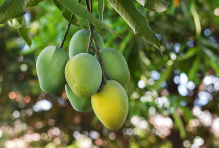 Foto de Bunch of green ripe mango on tree in garden. Selective focus - Imagen libre de derechos