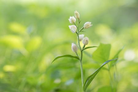 Photo for White Helleborine (Cephalanthera damasonium) on a green spring forest - Royalty Free Image