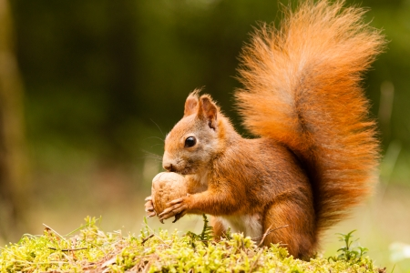 Photo for Squirrel with nut - Royalty Free Image