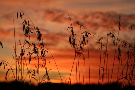 Photo for Grass is silhouette against the clouds reflecting the colors of sunset. - Royalty Free Image