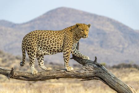 Foto de A Leopard in Dusternbrook Cheetah Manor of Namibia. - Imagen libre de derechos