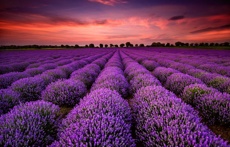 Foto de Stunning landscape with lavender field at sunset - Imagen libre de derechos