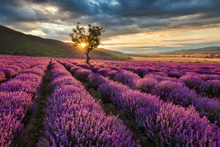 Photo pour Stunning landscape with lavender field at sunrise - image libre de droit