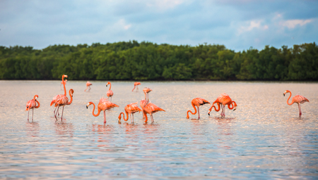 Photo pour Flamingoes at Rio Lagartos Biosphere Reserve, Yucatan, Mexico - image libre de droit
