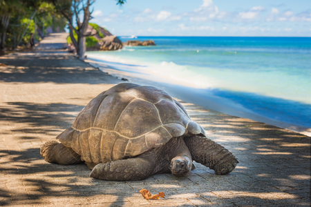 Photo for Seychelles giant tortoise  - Royalty Free Image
