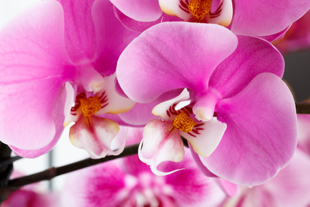Photo pour Close-up of beautiful vibrant pink orchid - image libre de droit