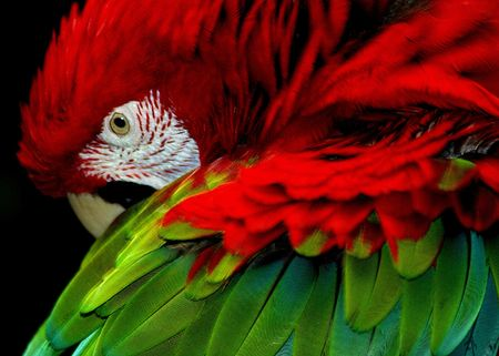 Elegant Parrot showing his colorful wing.