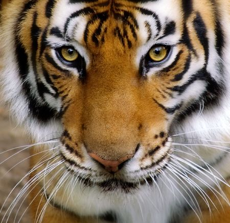 Close-up of a Tigers face.