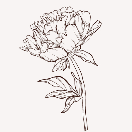 Illustration pour Peony flower. - image libre de droit