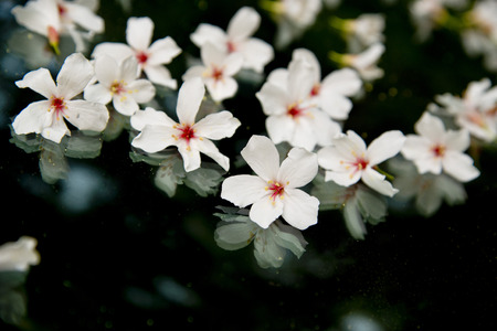 Photo pour Taiwan tung blossom flowers in full bloom - image libre de droit