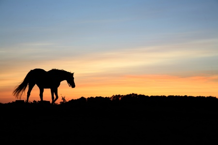 horses on a field in the summer in the countryside  in denmark, silhouette at the sunset