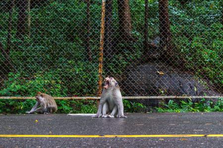 Foto de SIHANOUKVILLE, CAMBODIA - 7/20/2015: Two macaque monkeys on the road in Sihanoukville. - Imagen libre de derechos