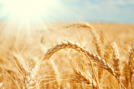 Photo for Gold wheat field and blue sky - Royalty Free Image