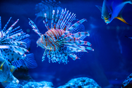 Photo pour Tropical fish Lion fish and corals. Beautiful background of the underwater world - image libre de droit