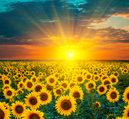 Photo for Sunflower fields during sunset. - Royalty Free Image
