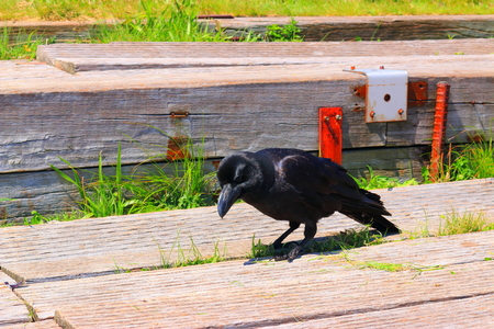 Photo for It is a crow. - Royalty Free Image