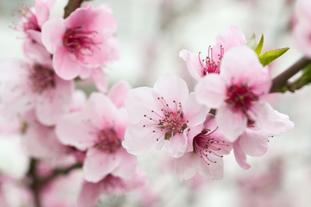 Photo for Blooming tree in spring with pink flowers - Royalty Free Image