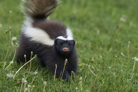 Foto de Humboldt hog-nosed skunk Conepatus  for food in Valle Chacabuco Patagonia Chile - Imagen libre de derechos