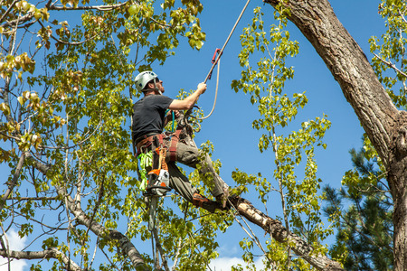 Photo pour Arborist climbing cottonwood tree with ropes and harness - image libre de droit