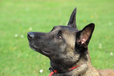 Photo pour a Malinois Belgian Shepherd dog with a red leash looks up to listen to his master's order - image libre de droit