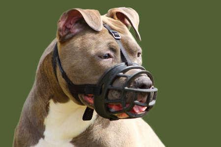 Photo pour face of an american staffordshire terrier dog with muzzle - image libre de droit