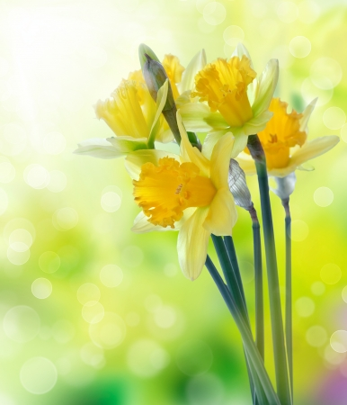 Beautiful yellow daffodil flowers on blurred background