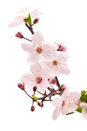 Photo for Pink cherry blossom  sakura flowers , isolated on white, shallow dof - Royalty Free Image