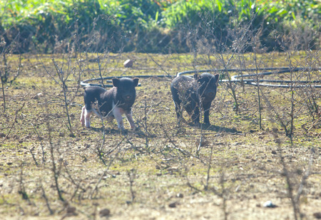 Two living free vietnamese piglets on traditional farm